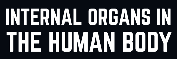 Internal Organs in the Human Body